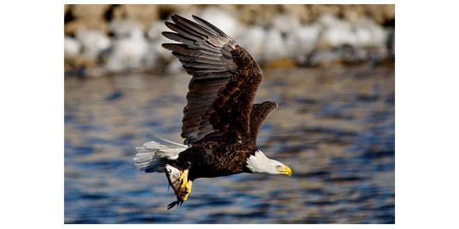 bald eagle with fish, photo credit: pixabay